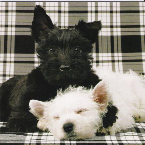 And White Black   Scotty air Adorable   trainers  Westie and sale Love Puppys    pets and Puppy