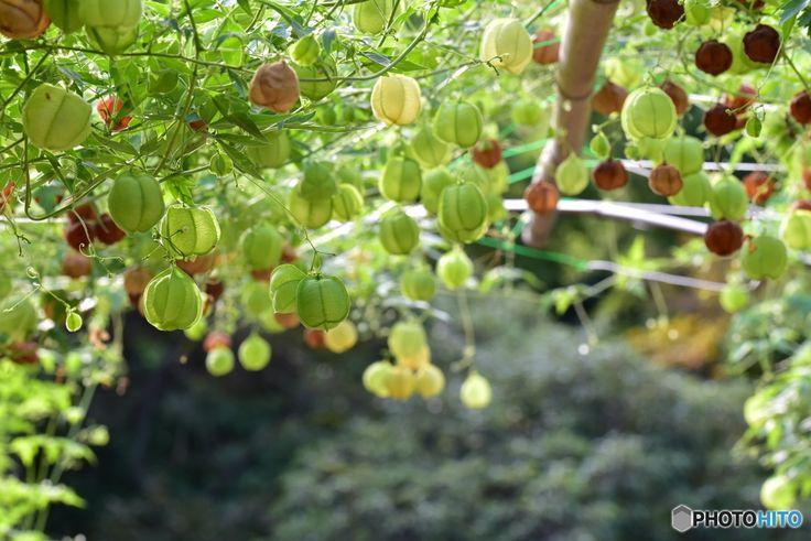 グリーンカーテンで緑を愛でながら省エネ対策朝顔ゴーヤヘチマetc...の育て方
