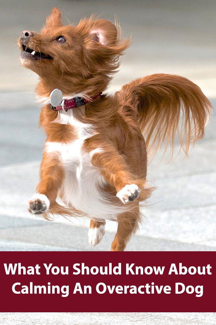 How To Calm An Overactive Dog Hyper Dog Dog Behavior