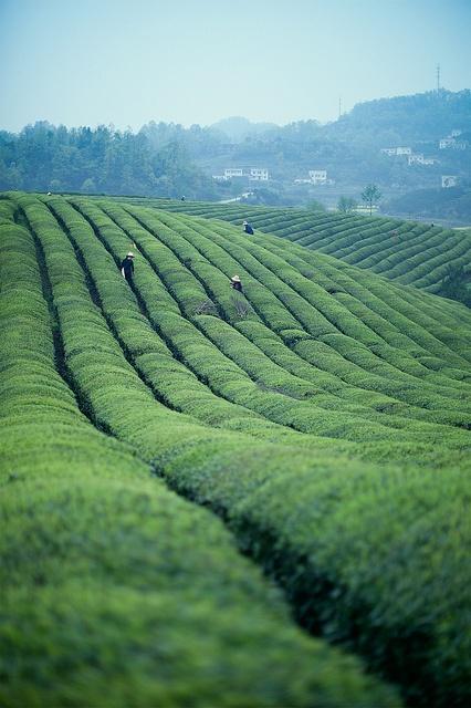 清明初茶 by WOOOC2, via Flickr