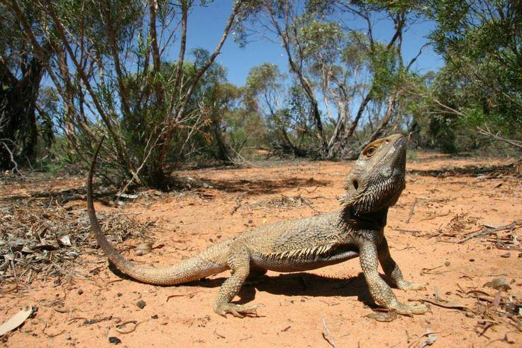 Bearded dragon in Australia