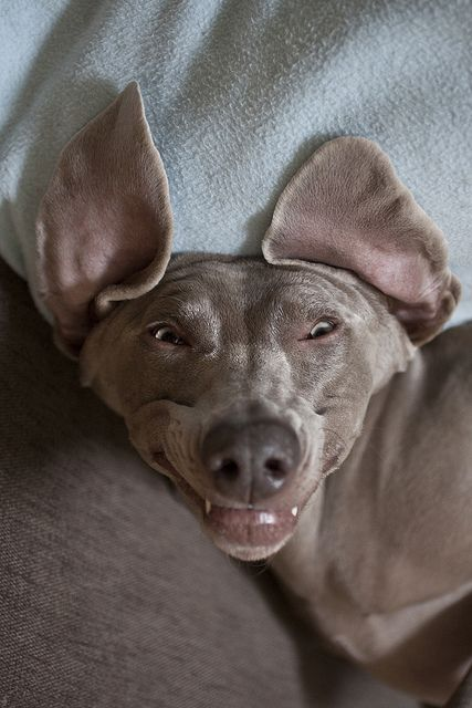 goofy weimaraner all you need is love and a dog. Black Bedroom Furniture Sets. Home Design Ideas