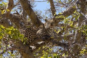 Nothing like driving around a corner and up in a tree is a beautiful leopard! #Safari #Africa #Botswana #WildernessSafaris