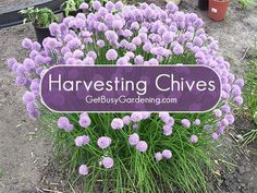 There is a trick to harvesting chives to make sure they are perfect from garden to table. I have some tips to make sure you don't end up with woody sticks... #herbgarden #getbusygardening