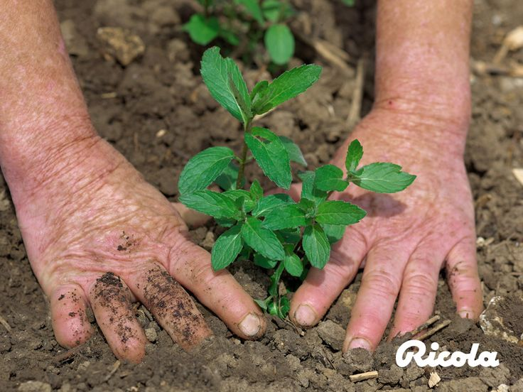 Herb cultivation is based on rigorous observation of natural practices and values. Weeds are removed by hand and insects are deterred with bio-sensitive products.#Herbs #Ricola