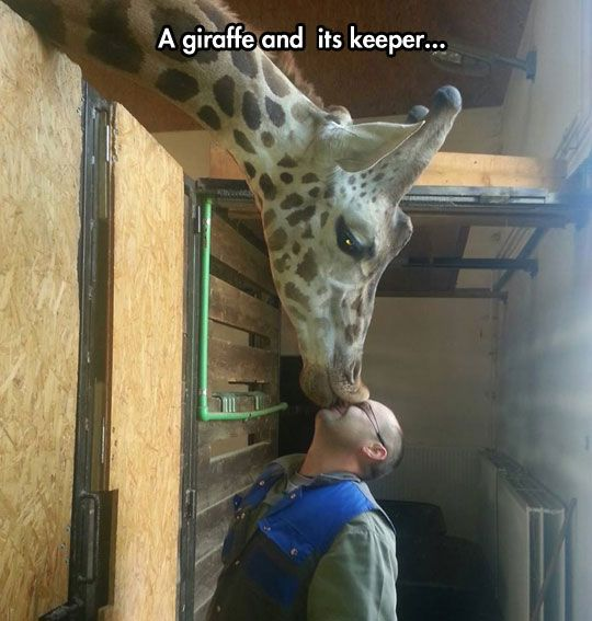 A Giraffe and it's keeper -- Unconditional Zoo Love