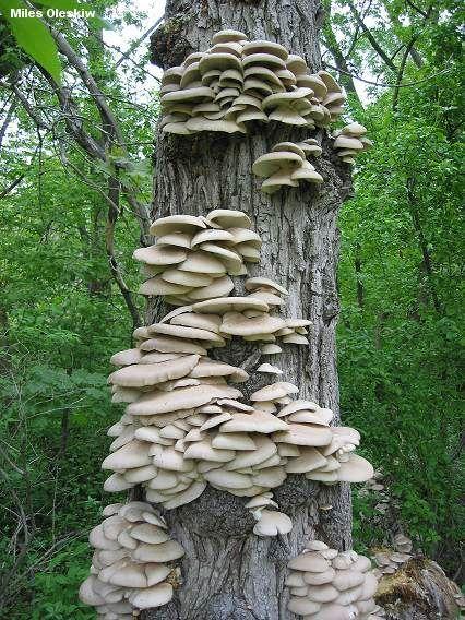 Oyster Mushroom - Pleurotus ostreatus