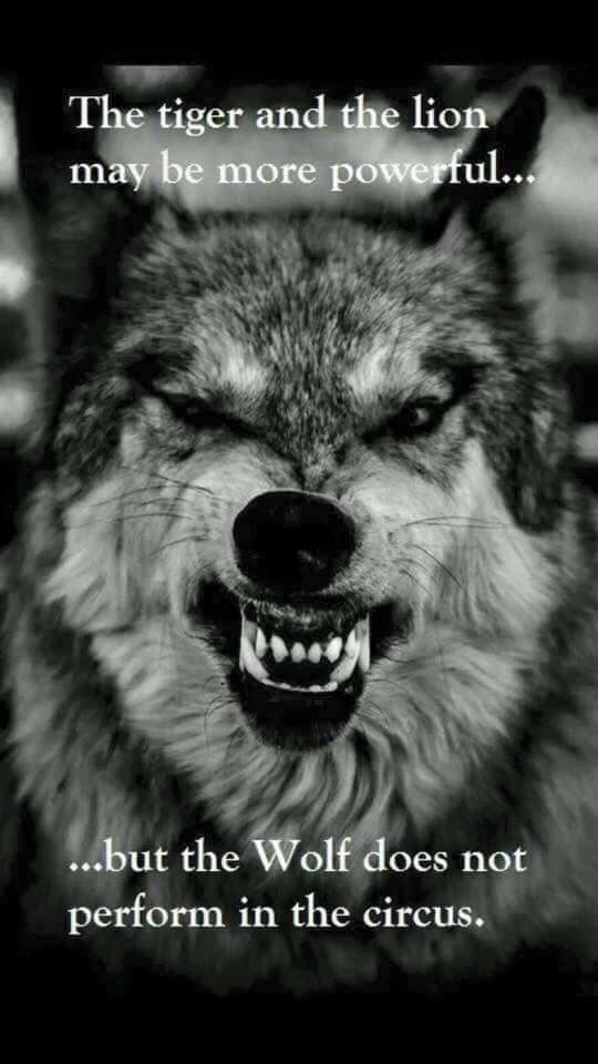 The tiger and the lion may be more powerful but the wolf does not perform in the circus.