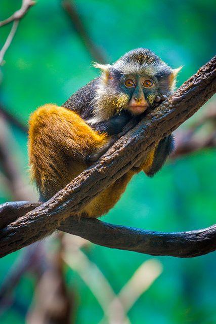 "alanshapirophotography: ""Wolf's Mona Monkey baby on Flickr. """