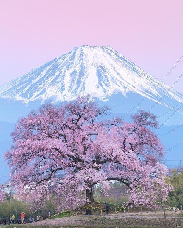 Blooming Sakura Tree At Mount Fuji Japan By Kenji Hashiba Oddlysatisfying Sakura Tree Mount Fuji Japan Mount Fuji