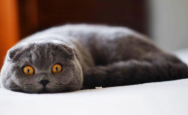шотландская вислоухая кошка Источник фото: pixoto.com