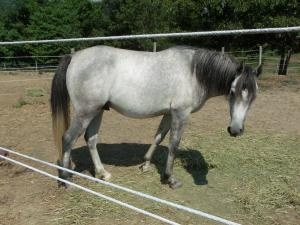 Moonshine is an adoptable Arabian Horse in Spencer, IN. Moonshine is a flashy 14.1 hand Arabian gelding. Moonshine has been professionally trained for an advanced rider....