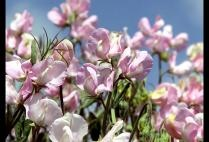.: Galleries, Sweets, Flower Legumes, Pink Sweet, Flower Fields, Sweet Peas, Mothers Natural