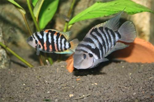 Convict Cichlid Fish care How to breed Convict Cichilds and also how to find males and females Find everything about this Cichild type.
