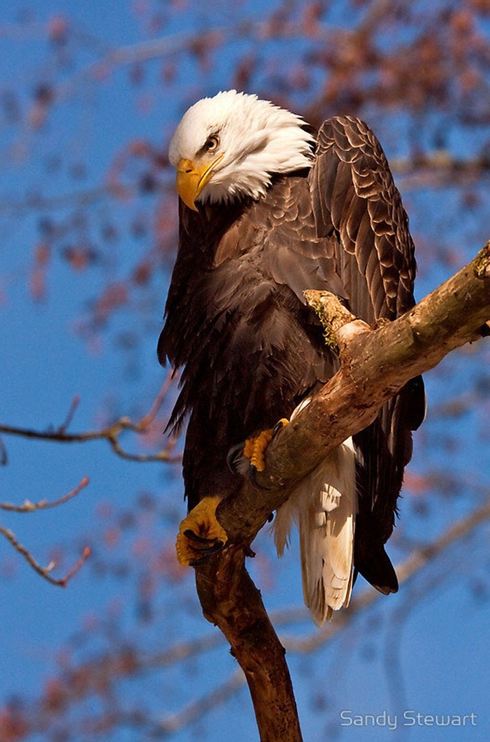 eagle on top of american flag