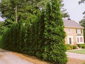"""Here are some easy tips on how to grow """"American Pillar"""" Arborvitae plants: These fast growing evergreen shrubs do best in ...."""