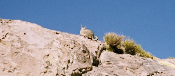 Vizcacha looks like a Rabbit, related to a rat   The Travel Tart Blog