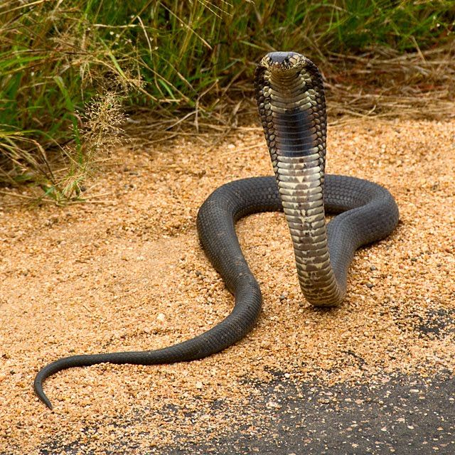 Mozambique spitting cobra in Kruger National Park, South Africa © Matt Prater