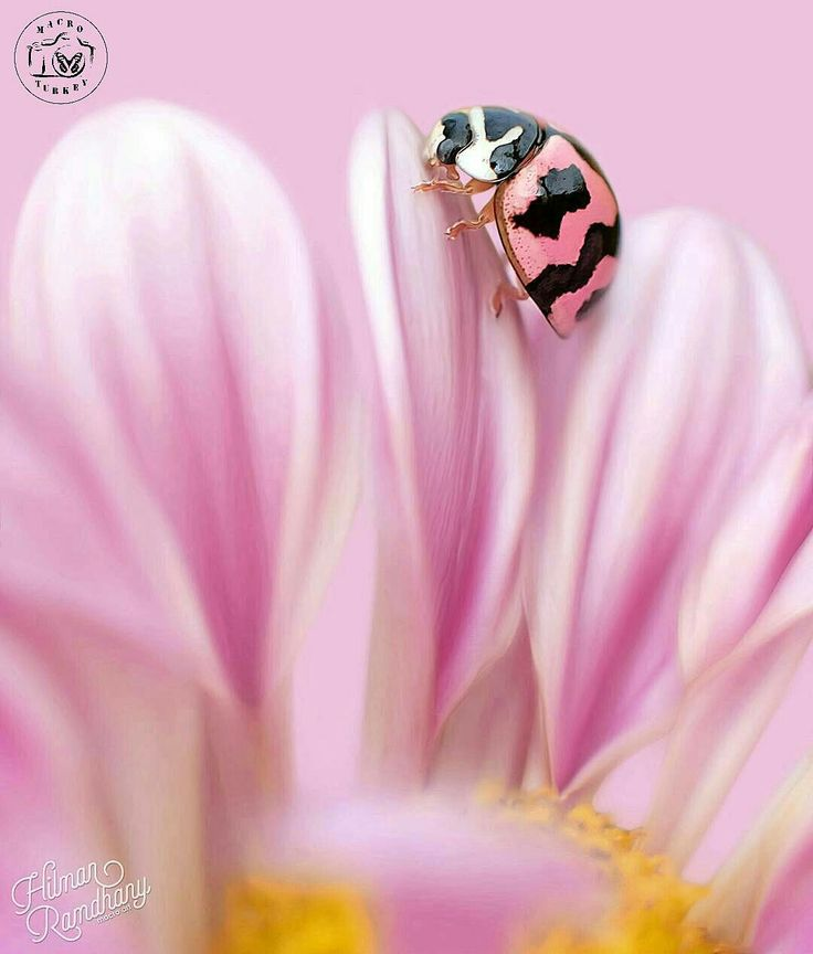 Lady bug in pink flower