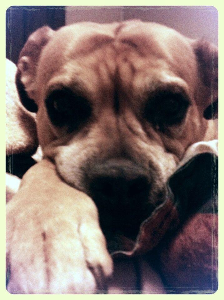 Shaya: my Presa De Canario mix with Chesapeake bay retriever and English bulldog