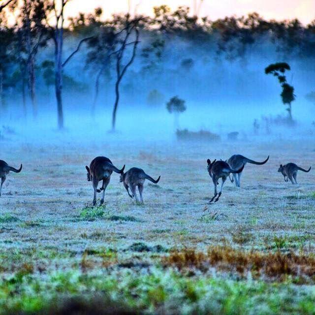Kangaroos in the must. Childers Queensland.