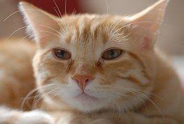 Katze, Europäisch Kurzhaar, Katzen