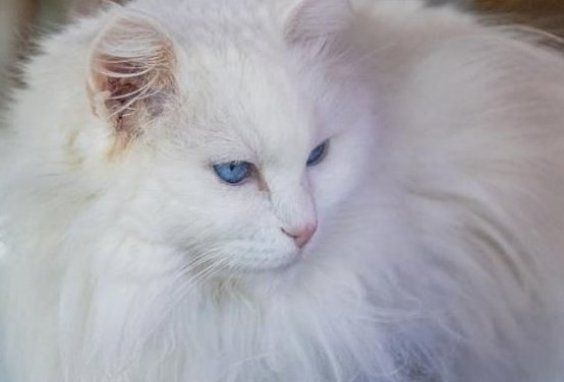 20 White Cat Breeds Blue Eyes Green Eyes A Complete List In 2020 White Cat Breeds Cat Breeds Long Hair Cat Breeds