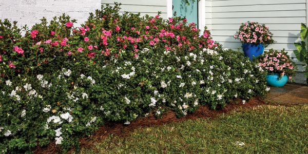Dwarf Encore Azaleas Small In Habit Bold On Blooms Plants For Small Gardens Modern Landscaping Evergreen Foundation Planting