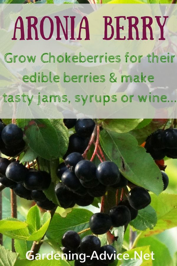 Aronia Berry is a great addition to gardens or permaculture food forests. Apart from being an attractive shrub Chokeberries are great for cooking jams, jellies or wine making.