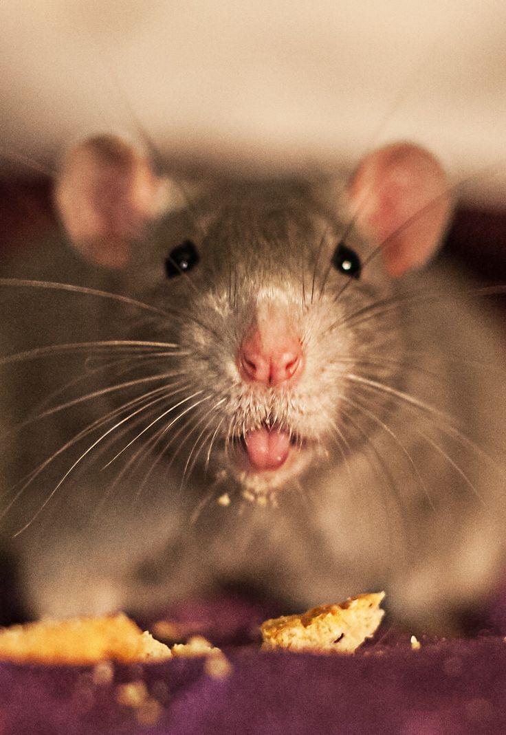 Утро картинки, смешные картинки крысят