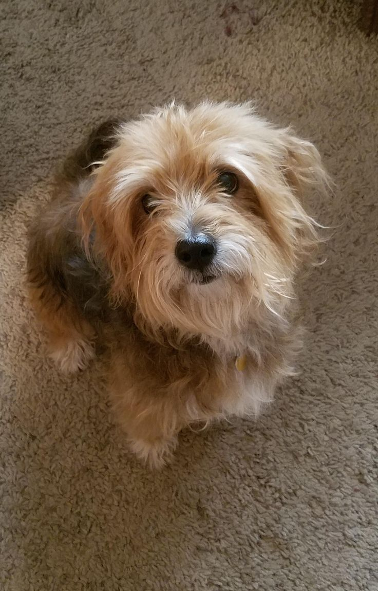 My grandma's dog Gunner I just bathed him so he is super soft and fluffy. He is a yorkie poodle mix. http://ift.tt/2rPyb3m