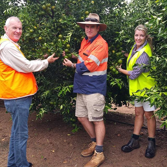 Christine and Craig Spencer are on farm at Spencer Ranch today with head farmer Will Thompson. They are inspecting the new season imperial mandarins. They'll be ready for harvest in two weeks, so keep an eye out for them on the fresh produce shelves. #aussiefarming #spencerranch #mandarins #citrus #bundy #wallaville