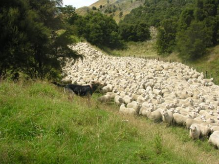 New Zealand Huntaway | New Zealand Huntaways and Heading Dogs - New Zealand Collie - Herding ...