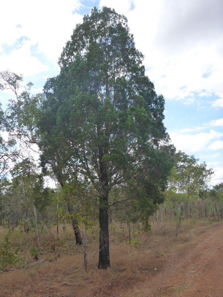 A wild Australian Blue Cypress (Callitris intratropica) tree near Litchfield National Park, Northern Territory.