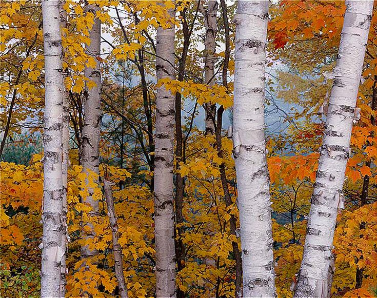 paper birch trees for sale Birch trees (betula species) including birch tree types such as river, paper, white, red and silver birch trees wholesale nurseries in the usa, united states of america.