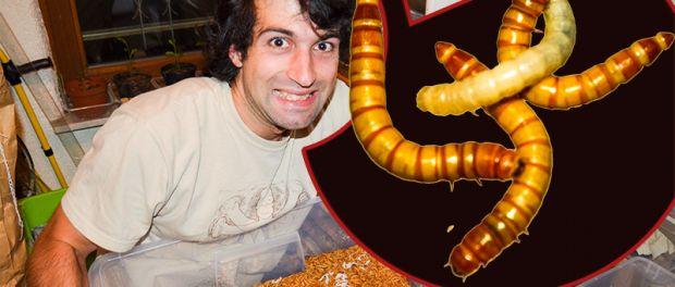 Mehlwürmer züchten