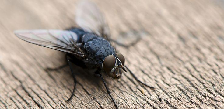 Избавляемся от мух в квартире: профилактика и народные методы http://happymodern.ru/izbavlyaemsya_ot_mukh_v_kvartire_profilaktika_i_narodnye_metody/ Как избавиться от мух в доме. Комнатная муха (лат. Musca domestica) - синантропное насекомое, то есть живущее рядом с человеком, а в дикой природе она уже практически не встречается