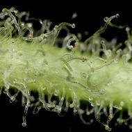 White Widow Autoflowering – Semillas de marihuana White Widow Autoflowering Autoflorecientes