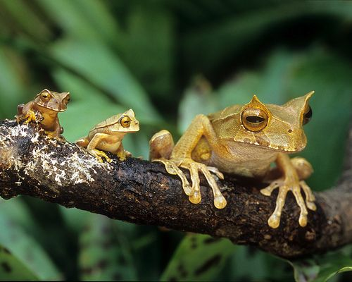 Marsupial Horned Frog Family, Panama.  Any time a frog tries to move it's head independently (look to the left) it's always cute.