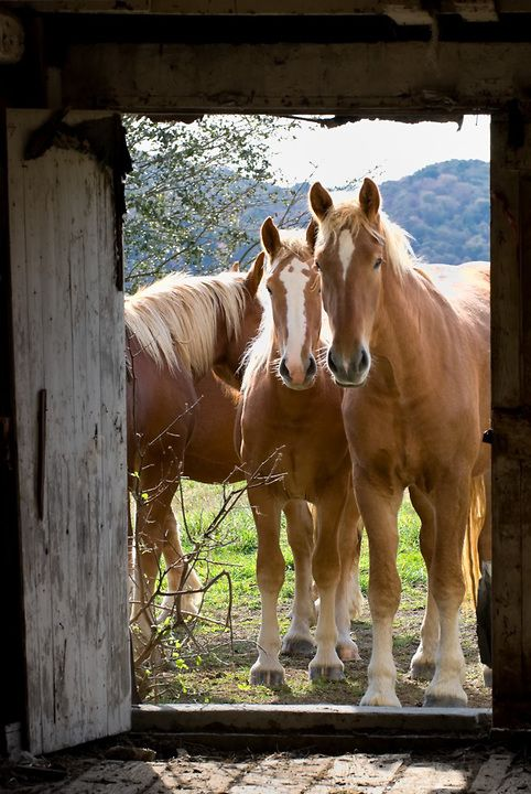 A group of curious young Belgians draft horses looking through a barn door.