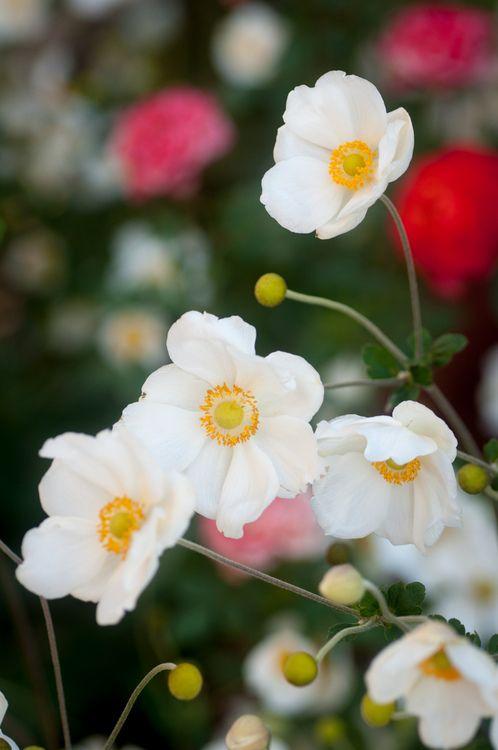 prettylittleflower:    japanese anemone (by raspberrytart)