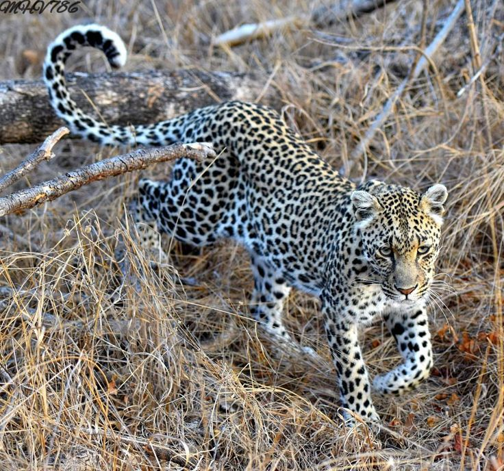 Rawrr it's Fierce Friday! Moremi Game Reserve offers excellent leopard sightings: 📷: wildlife.za