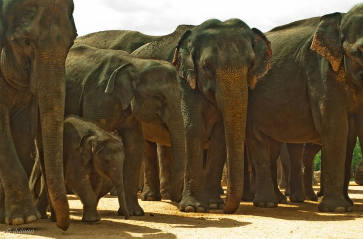 Pinnawala Elephant Orphanage -  Pinnawala Elephant Orphanage is an orphanage, nursery and captive breeding ground for wild Asian elephants located at Pinnawala village, 13 km northeast of Kegalle town in Sabaragamuwa Province of Sri Lanka.