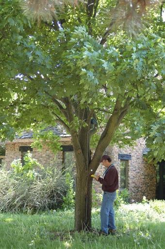 #tree #transplanting #il