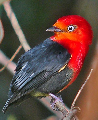 Crimson Hooded Manakin (Pipra aureola), found in Brazil, French Guiana, Guyana, Suriname & Venezuela. Habitats are subtropical or tropical swamps.
