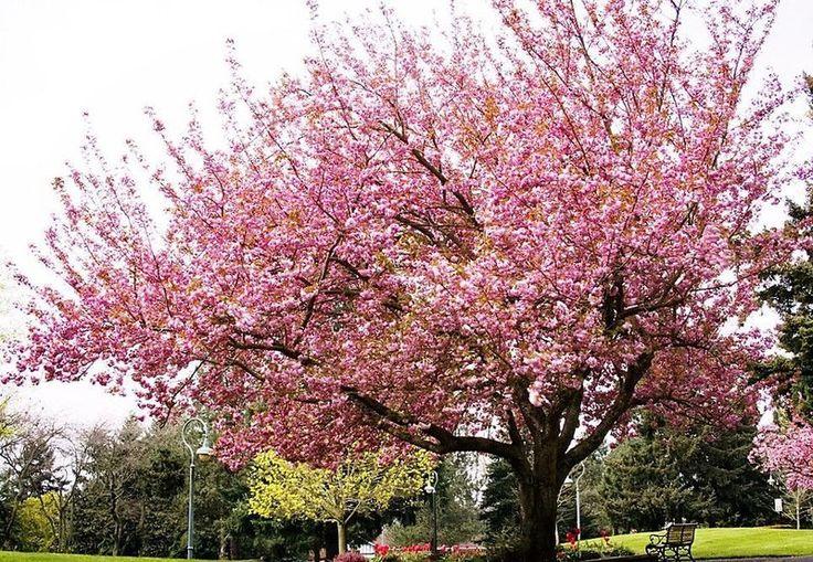 Cerejeira Japonesa Ornamental de Flores Rosas - Jardim Exótico - O maior portal de mudas do Brasil.