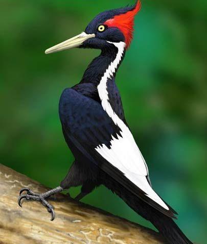 ivory bill woodpecker