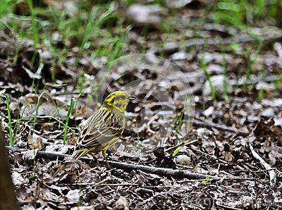 Yellowhammer Emberiza citrinella in the Loba - Donauauen National Park