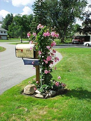 Mandevilla Vine growing on a mail box! This is gorgeous!