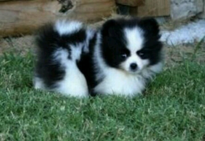Black and white Pomsky! | Cute!! | Pinterest | Black and ...